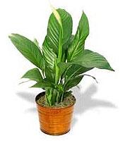 Imagen de una planta ideal para oficinas